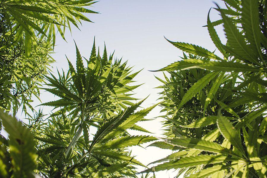 Produzione erba CBD