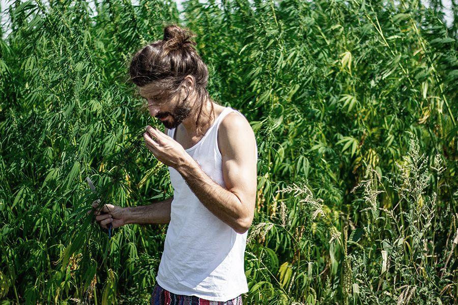 Hanfpflanzen legal