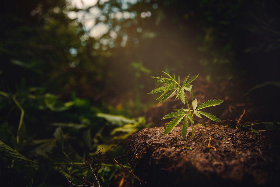 Pflege Hanfpflanze